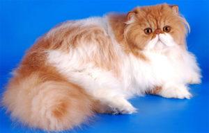 Основные отличительные черты состояния здоровья персидских кошек