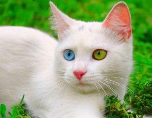 Здоровье кошек с гетерохромией