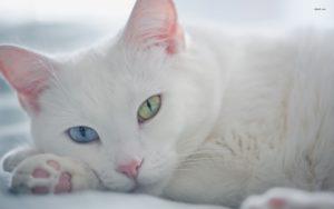 Удивительные кошки с разными глазами
