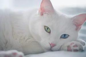 Описание и характер породы белой кошки с разными глазами