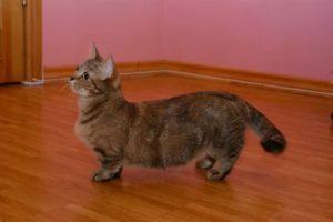 Самая миниатюрная кошка в мире