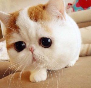 характер породы карликовых кошек
