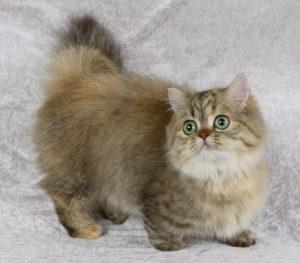 Описание и характер породы карликовых кошек