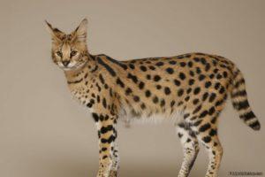 характер породы кошек ашера
