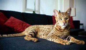 порода кошек ашера