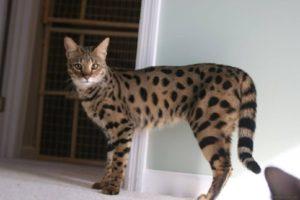 Описание и характер породы кошек ашера
