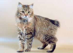 характер породы кошек бобтейл