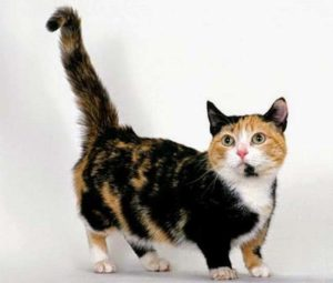 Описание и характер породы кошек манчкин