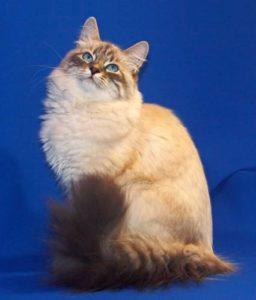 Описание и характер породы кошек невской маскарадной