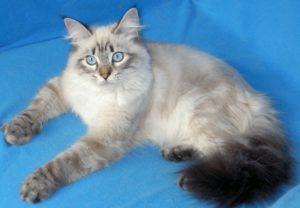 характер породы кошек невской маскарадной