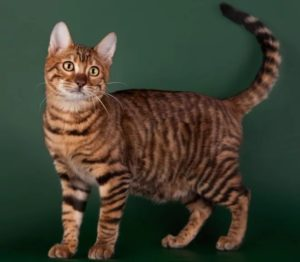 Описание и характер породы кошек тойгер