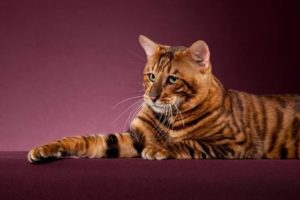 характер породы кошек тойгер