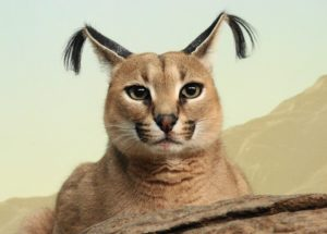 Описание и характер породы кошки каракал