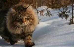 характер сибирской лесной кошки