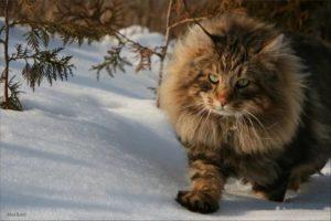Описание и характер сибирской лесной кошки
