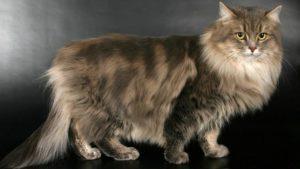 сибирской породы кошек