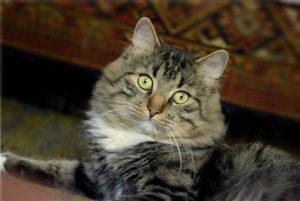 характер сибирской породы кошек