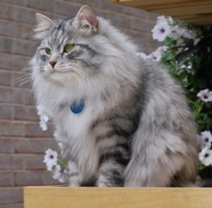 Описание и характер сибирской породы кошек
