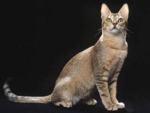 Как правильно ухаживать за цейлонским котом