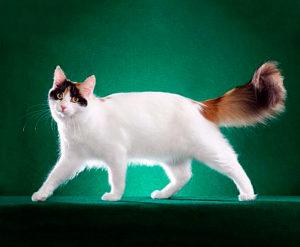 Описание турецкой ванской кошки