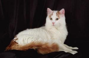 Описание и характер турецкой ванской кошки