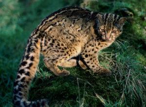породы мраморная кошка