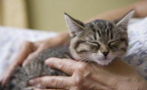 зачем кошки мурчат