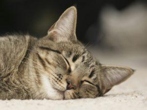 Почему кошка храпит во сне и что это значит