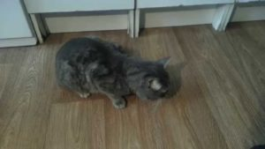 Почему кошка кашляет и хрипит: что делать