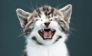 Почему кошки мяукают в разных ситуациях