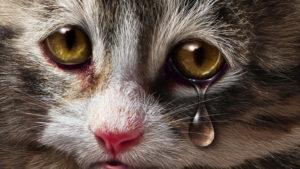 Причины появления слез у кошек