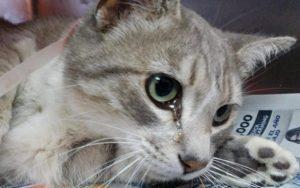 Почему кошки плачут