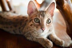 Интересные сведения о звуках, которые издают кошки