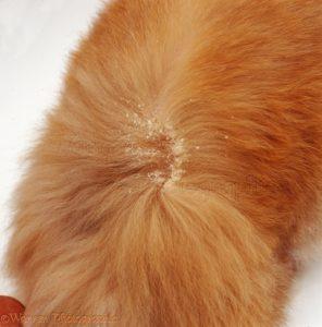 Почему появляется перхоть у кошек на спине и около хвоста