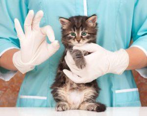 Почему у кошки горячие уши и нужно ли переживать
