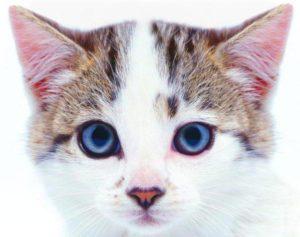 кошки над глазами появляются залысины