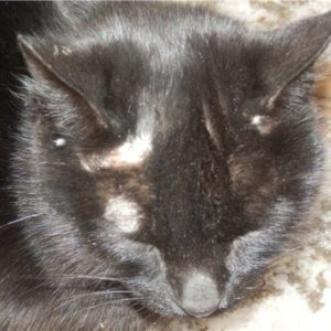 Почему у кошки над глазами появляются залысины