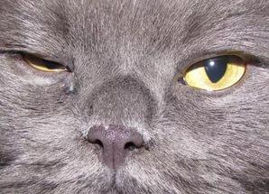 Почему у кошки слезятся глаза и как ей помочь