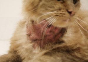 Симптомы и лечение аллергии у кошек