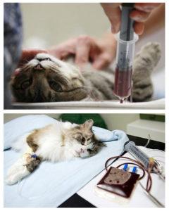 Причины анемии у кошек