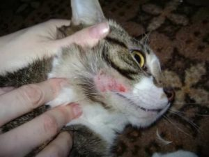 Симптомы и лечение авитаминоза у кошек