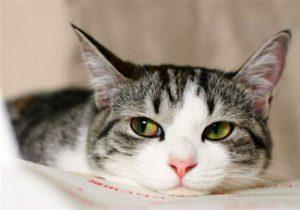 Симптомы и лечение гемобартонеллеза у кошек
