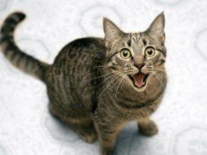 Симптомы и лечение геморроя у кошек