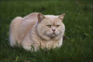 лечение гипертрофической кардиомиопатии у кошек