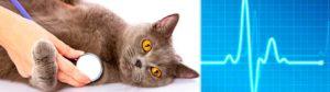 Симптомы и лечение гипертрофической кардиомиопатии у кошек