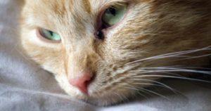 кальцивироза у кошек