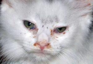 Симптомы и лечение конъюнктивита у кошек