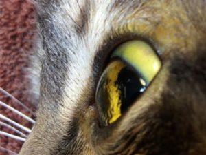 лептоспироза у кошек