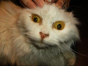 Симптомы и лечение лептоспироза у кошек