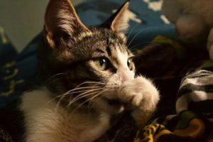 насморк у кошеки